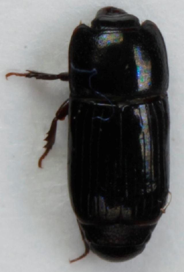 Image of <i>Platysoma</i> (<i>Cylister</i>) <i>angustatum</i> (Hoffmann 1803)