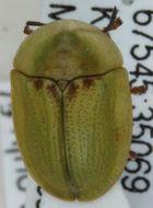 Image of <i><i>Cassida</i></i> (Cassida) <i>denticollis</i> Suffrian 1844