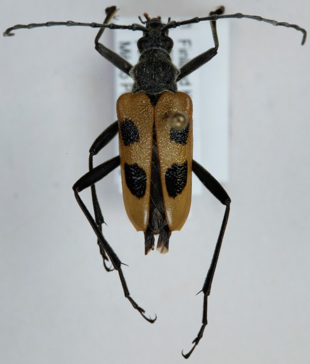 Image of <i>Pachyta quadrimaculata</i> (Linne 1758)