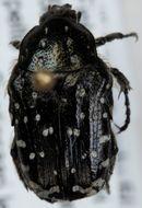 Image of <i>Oxythyrea funesta</i> (Poda 1761)