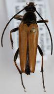 Image of <i>Etorofus pubescens</i> (Fabricius 1787)