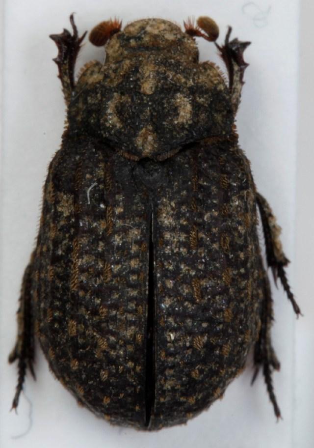 Image of <i>Trox sabulosus</i> (Linnaeus 1758)