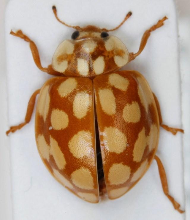 Image of <i>Sospita vigintiguttata</i> (Linnaeus 1758) Linnaeus 1758