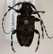 Image of <i>Aegomorphus clavipes</i> (Schrank 1781)
