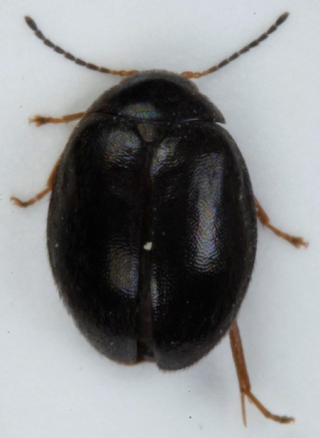 Image of <i>Scirtes hemisphaericus</i> (Linnaeus 1767) Linnaeus 1767