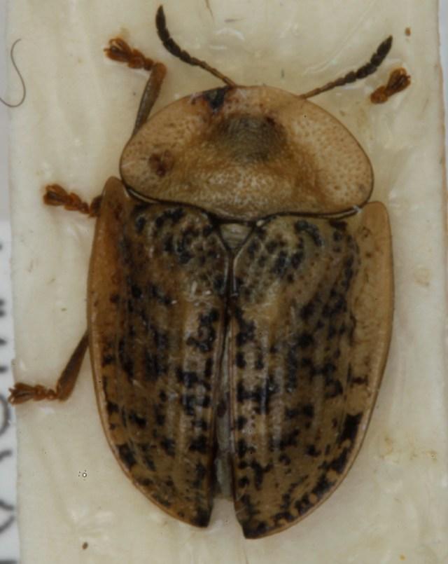 Image of <i><i>Cassida</i></i> (Cassida) <i>nebulosa</i> Linnaeus 1758
