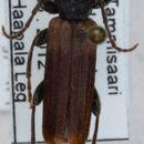 Image of Brown spruce longhorn beetle