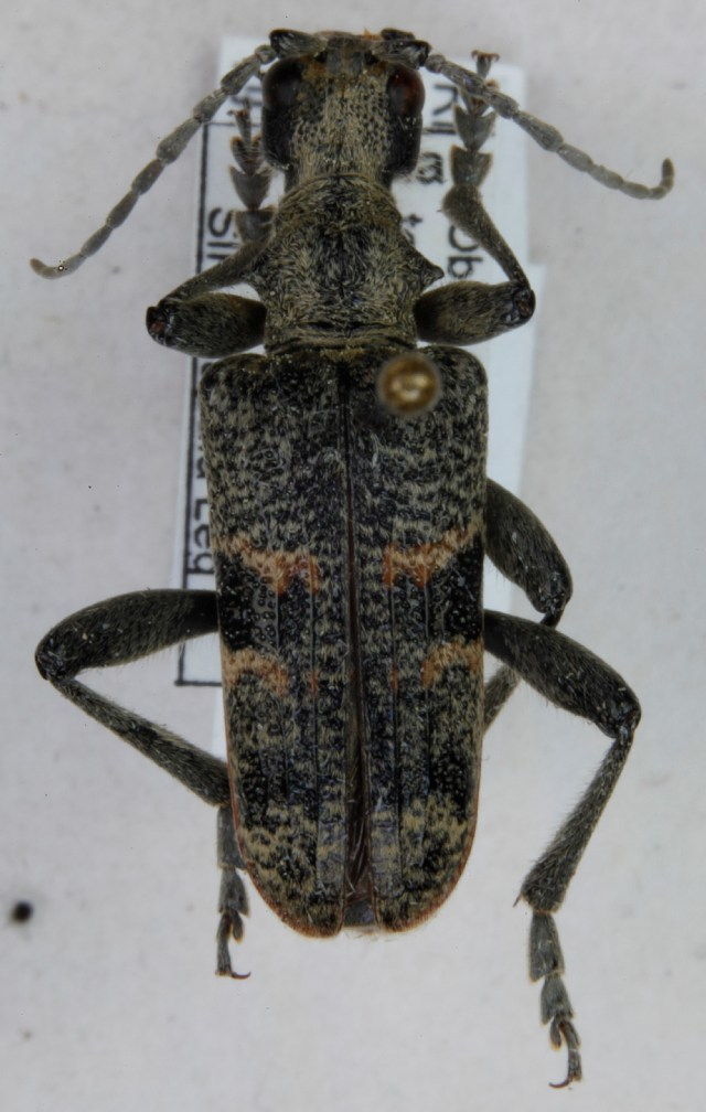Image of Blackspotted Pliers Support Beetle