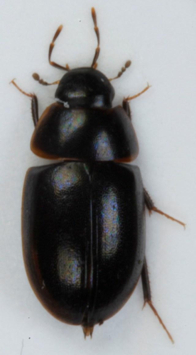 Image of <i>Cymbiodyta marginella</i> (Fabricius 1792)