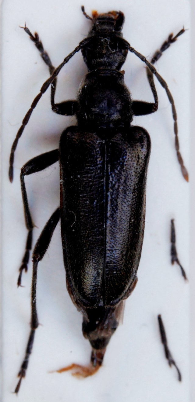 Image of <i>Acmaeops septentrionis</i> (C. G. Thomson 1866)