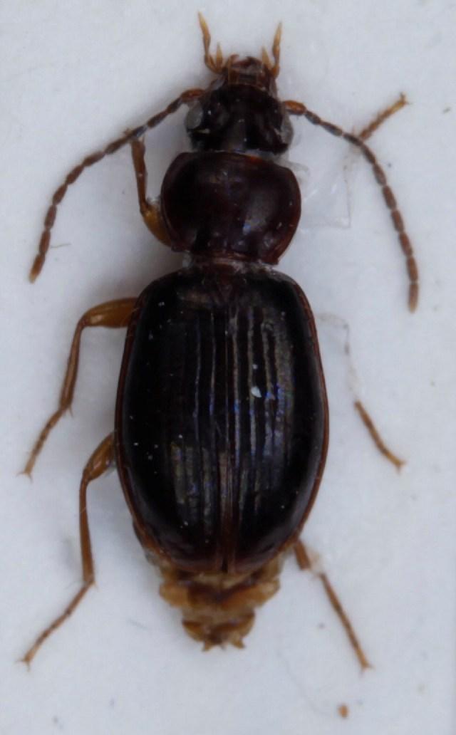 Image of <i>Trechus rivularis</i>