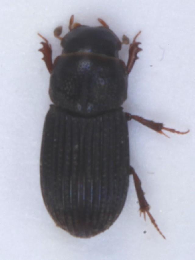 Image of <i>Oxyomus sylvestris</i> (Scopoli 1763)