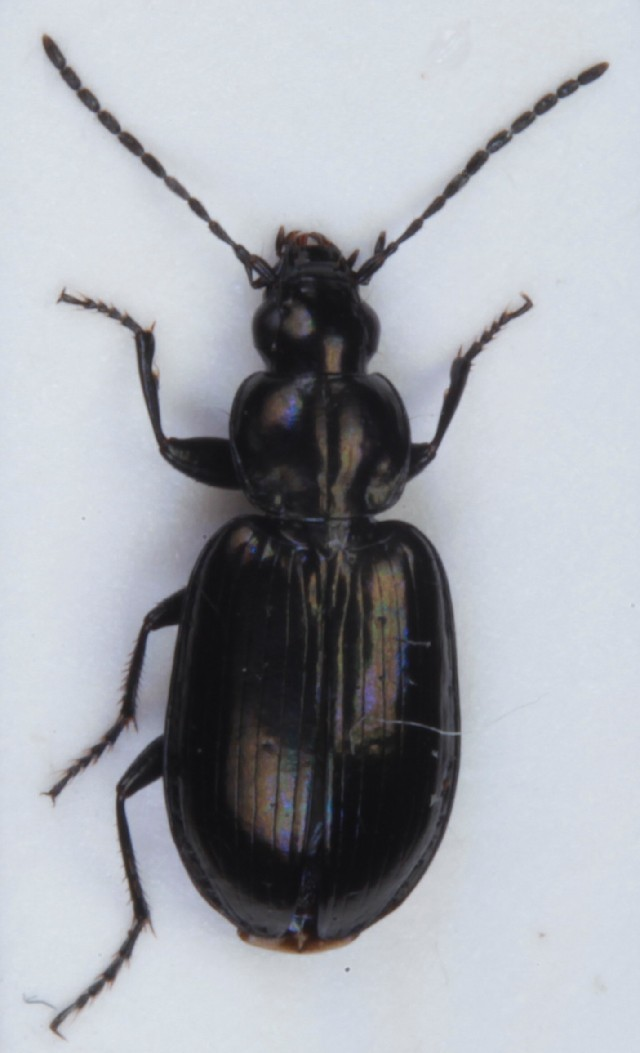 Image of <i>Agonum</i> (<i>Europhilus</i>) <i>munsteri</i> (Hellén 1935)