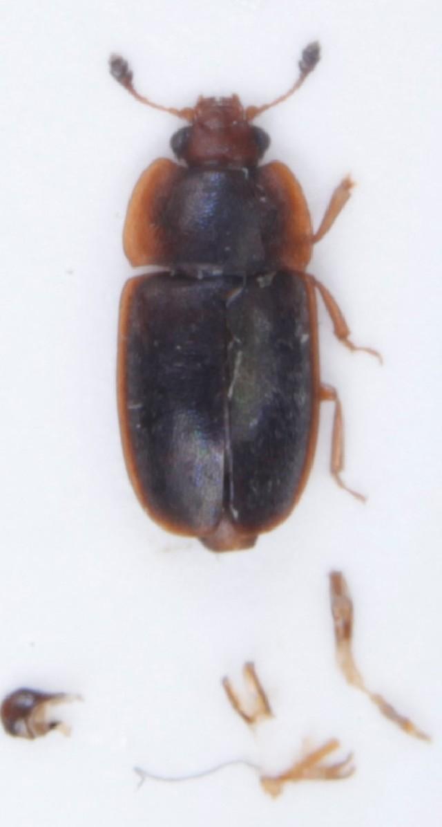 Image of <i>Epuraea biguttata</i> (Thunberg 1784) Thunberg 1784