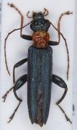 Image of <i>Oedemera croceicollis</i>