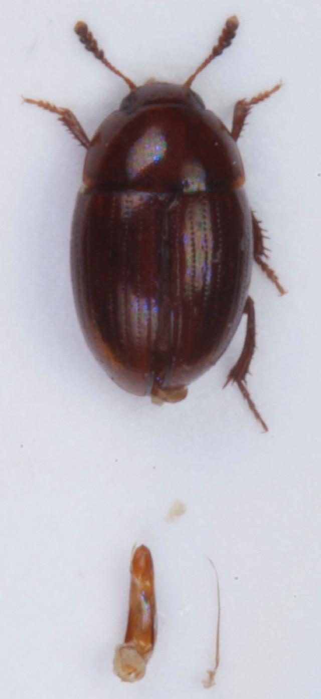 Image of <i>Leiodes ferruginea</i>