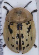 Image of Fleabane tortoise beetle