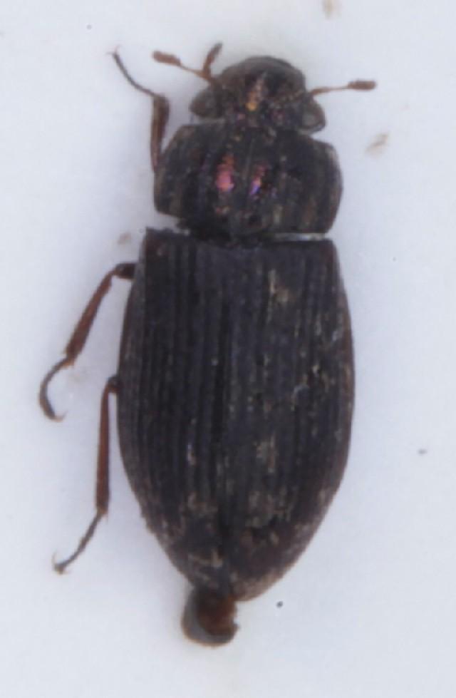 Image of <i>Helophorus</i> (<i>Rhopalohelophorus</i>) <i>pumilio</i> Erichson 1837