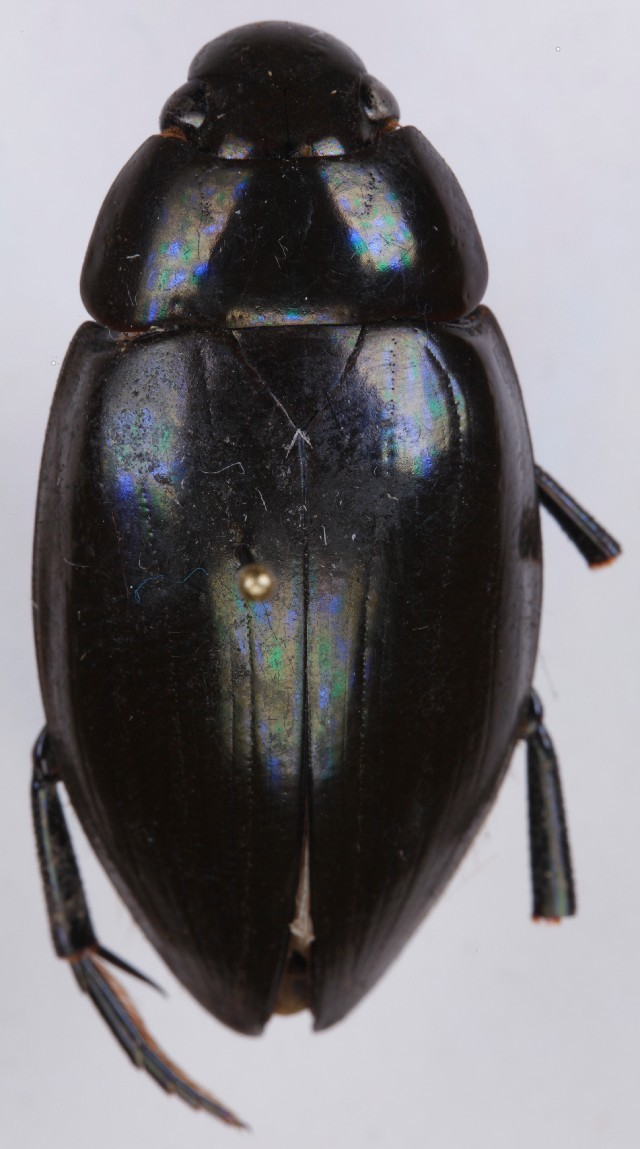 Image of Hydrophilus