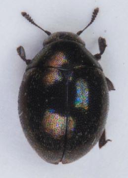 Image of <i>Lamprobyrrhulus nitidus</i> (Schaller 1783) Schaller 1783