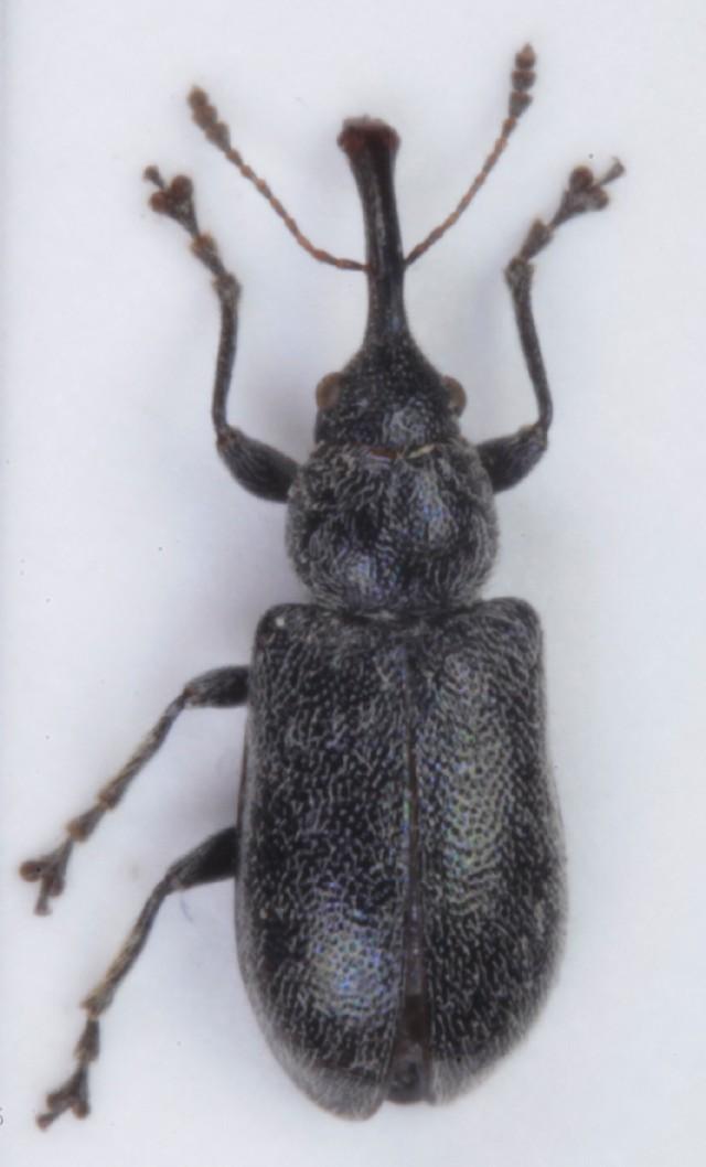 Image of <i>Doydirhynchus austriacus</i> (Olivier 1807)