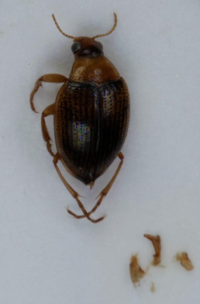 Image of <i>Haliplus lineolatus</i> Mannerheim 1844