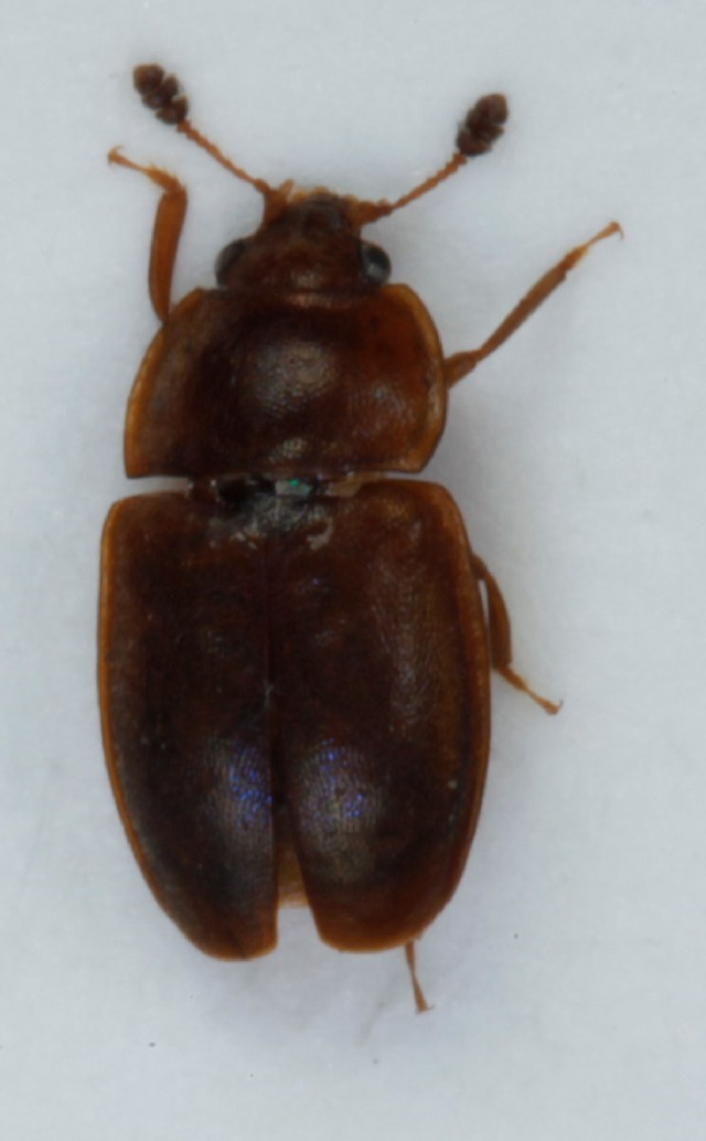 Image of <i>Epuraea placida</i>