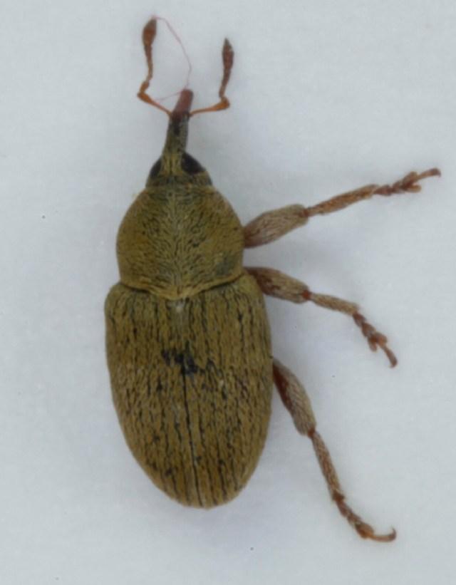 Image of <i>Tychius breviusculus</i> Desbr.