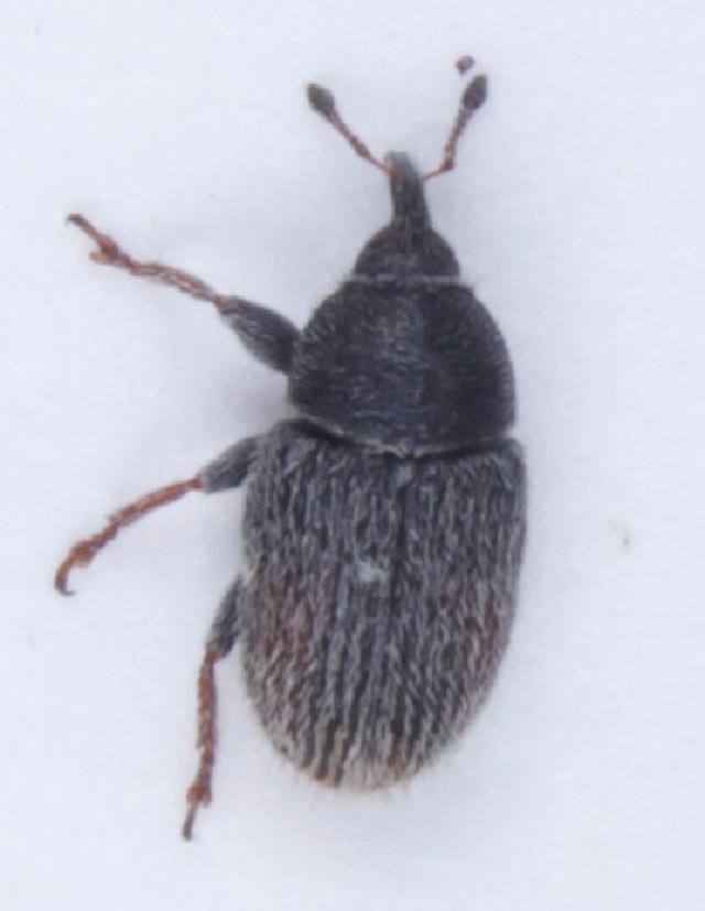 Image of <i>Mecinus pascuorum</i>