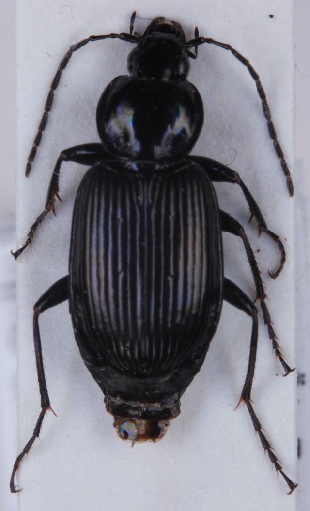 Image of <i>Agonum</i> (<i>Olisares</i>) <i>duftschmidi</i> J. Schmidt 1994