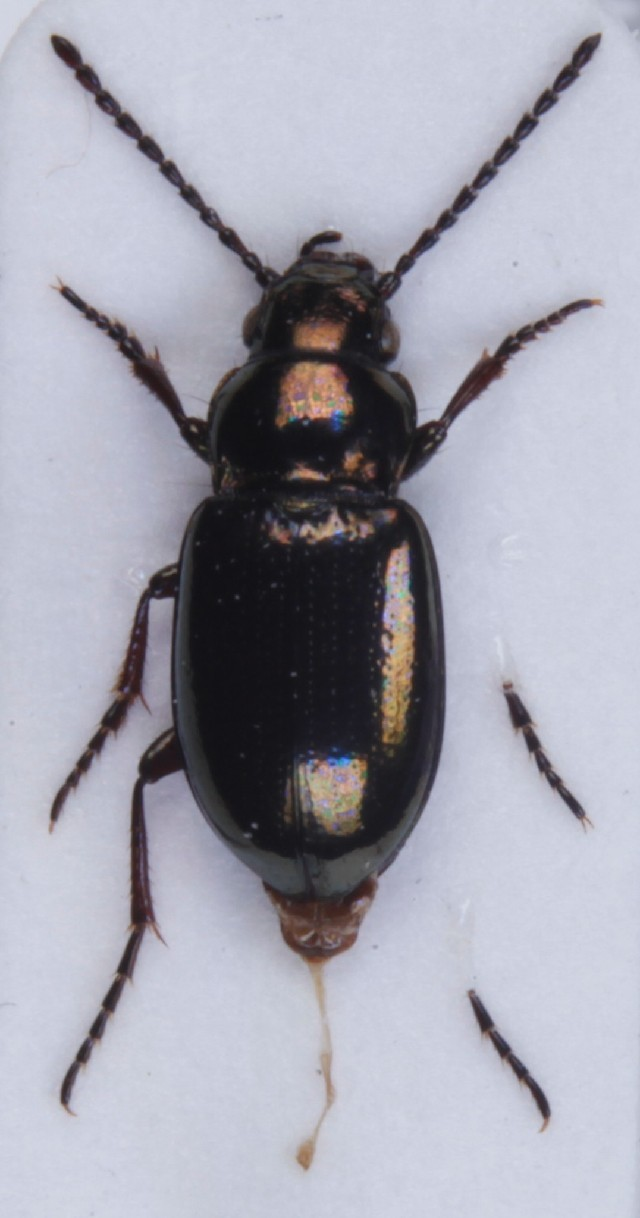 Image of <i>Trachypachus zetterstedtii</i> (Gyllenhal 1827)