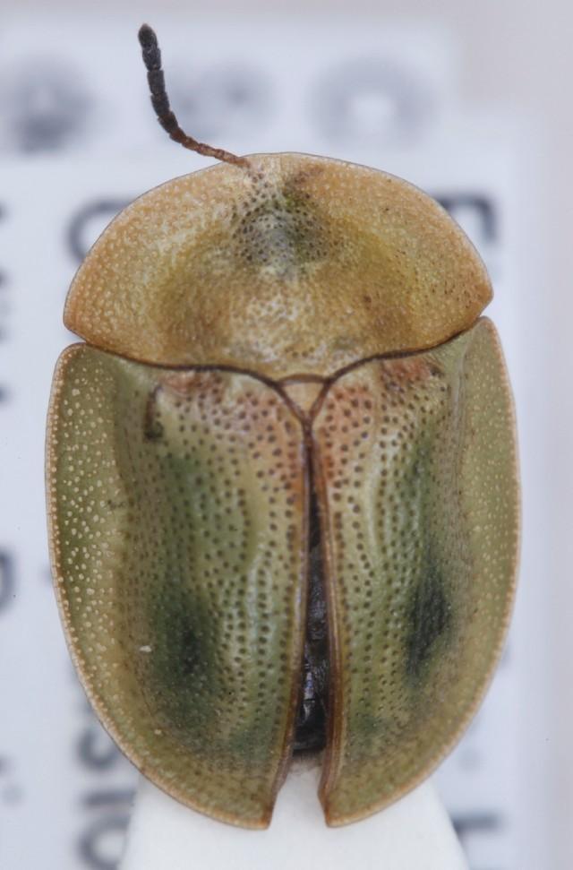 Image of <i><i>Cassida</i></i> (Cassida) <i>sanguinosa</i> Suffrian 1844