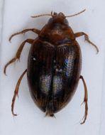 Image of <i>Haliplus fulvus</i> (Fabricius 1801) Fabricius 1801