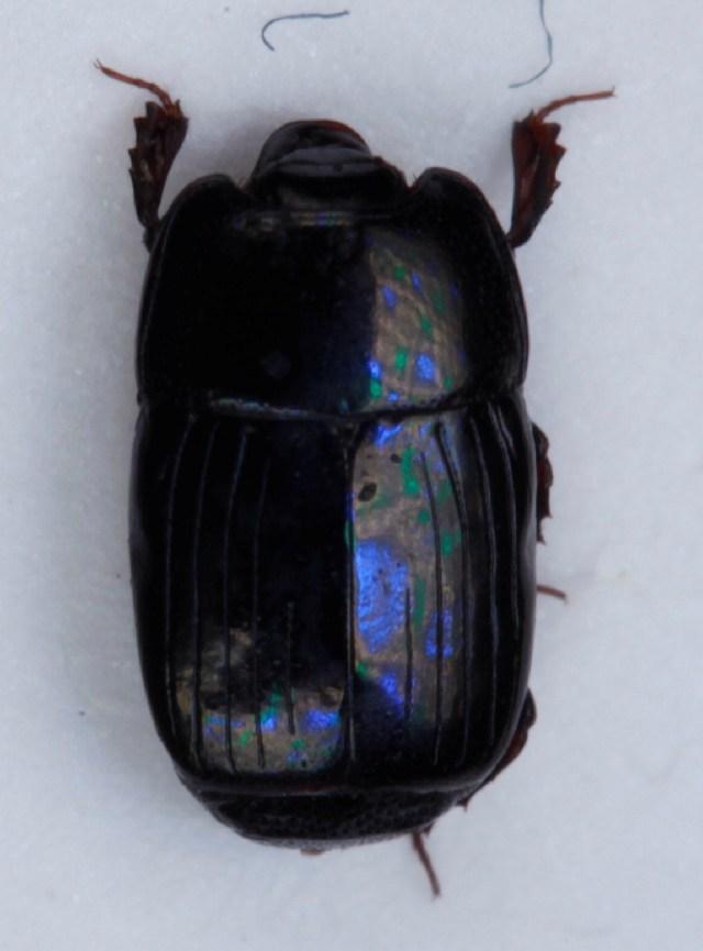 Image of <i><i>Platysoma</i></i> (Platysoma) <i>deplanatum</i> (Gyllenhal 1808)