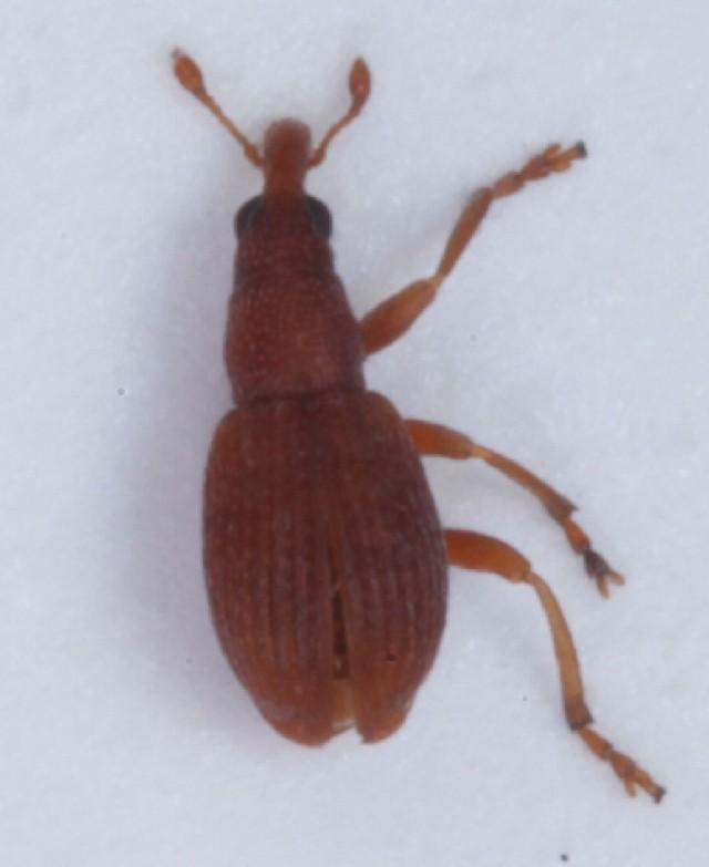 Image of <i>Apion cruentatum</i>