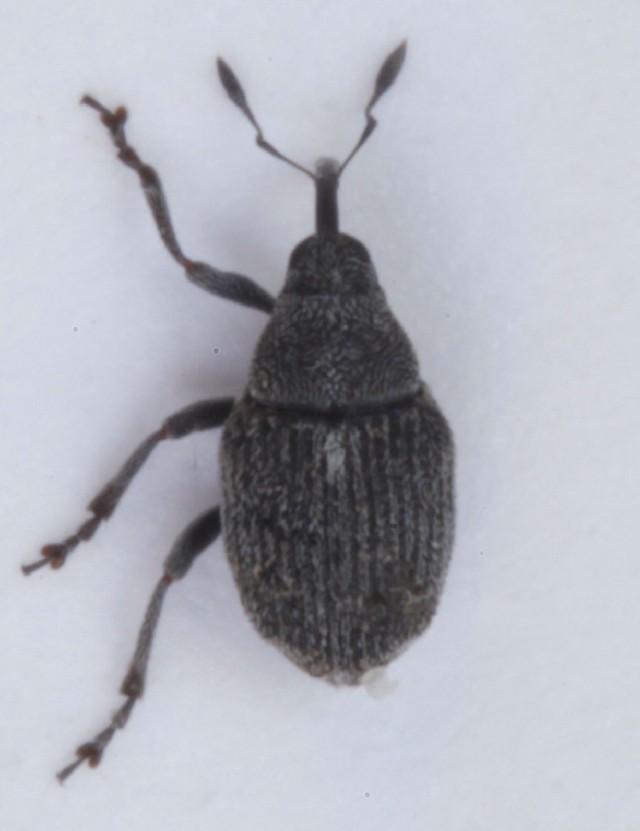 Image of <i>Sirocalodes depressicollis</i> (Gyllenhal 1813) Gyllenhal 1813
