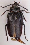 Image of <i>Prionus coriarius</i> (Linne 1758)