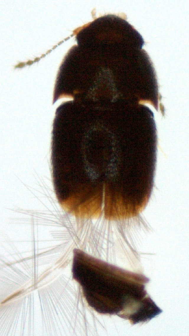 Image of <i><i>Acrotrichis</i></i> (Acrotrichis) <i>montandonii</i> (Allibert 1844)
