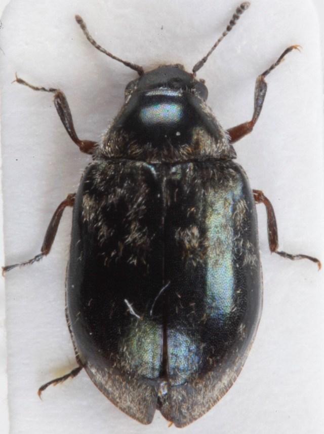 Image of Arctobyrrhus