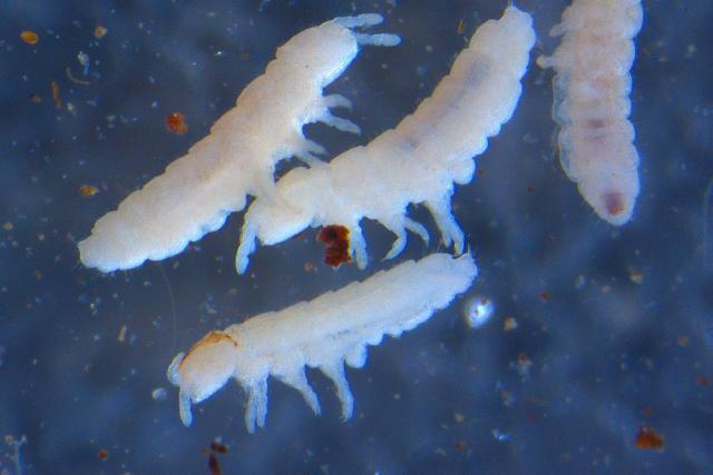 Image of OnychiuridaeGEN sp. DPCOL37607