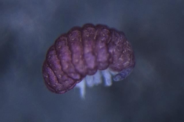 Image of OnychiuridaeGEN sp. DPCOL81390