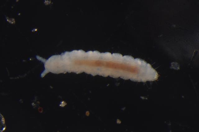 Image of TullbergiidaeGEN sp. DPCOL38750