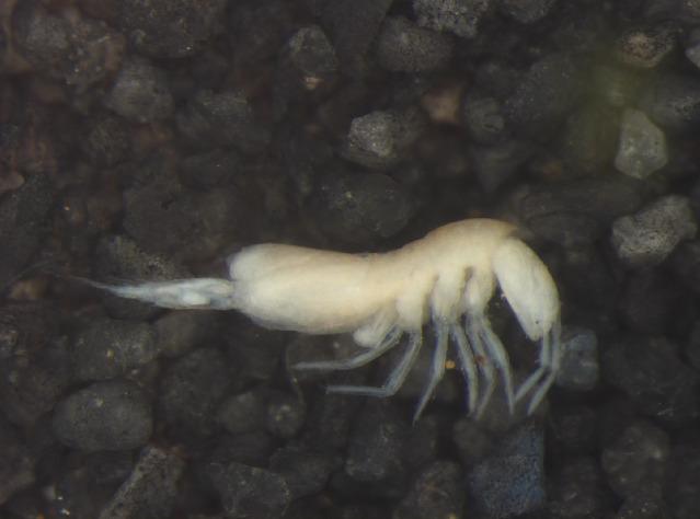 Image of Oncopoduridae