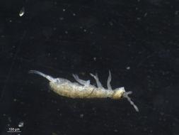 Image of <i>Parisotoma notabilis</i>