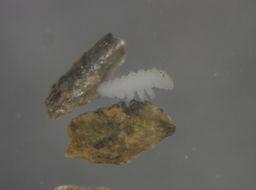 Image of Superodontella Stach 1949