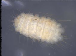 Image of <i>Bilobella massoudi</i>