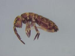 Image of <i>Isotomurus catalanus</i>