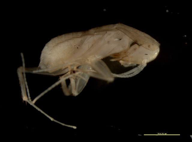 Image of Nocticolidae