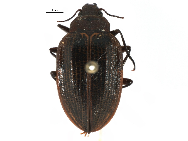 Image of trout-stream beetles