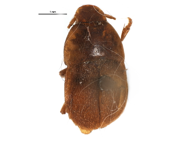Image of Platypsyllinae